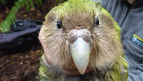 barnard-the-kakapo-doc-supplied.jpg